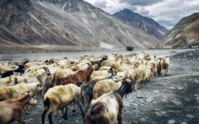 Goats, Mental Health & Prisons